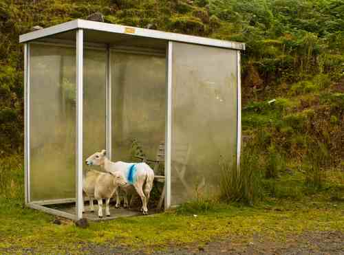 Sheep sheltering from rain in Scotland